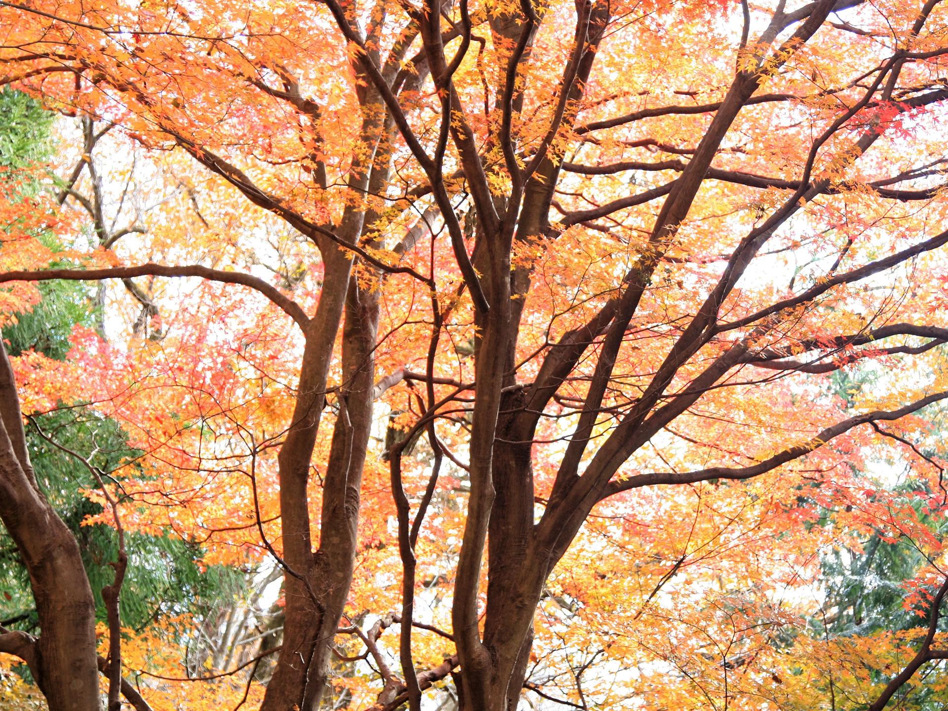正丸峠ガーデンハウスのゲートから入っておよそ50Mのところにある紅葉の大木